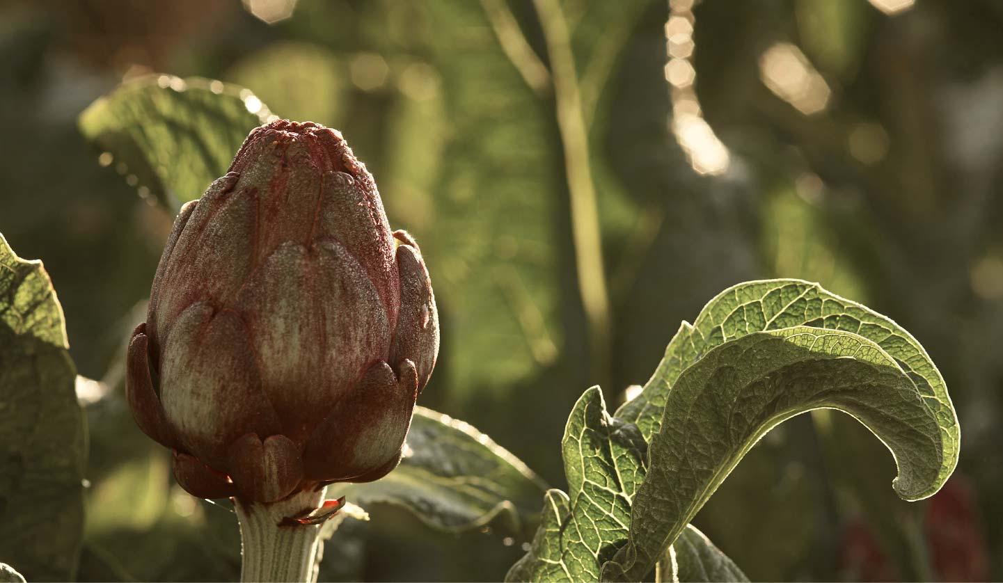 alcachofa ecológica Frutos Los Pisaos