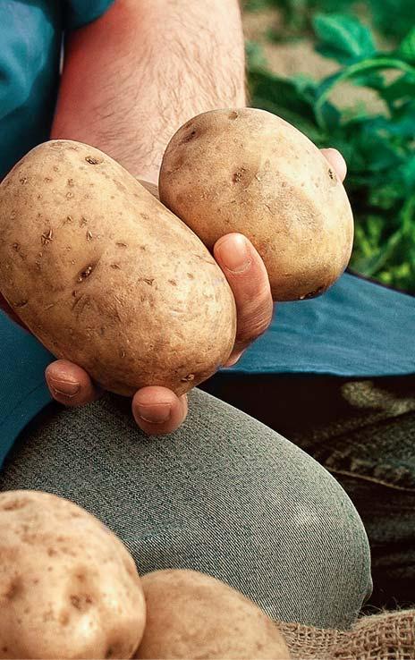 Recolección patata ecológica
